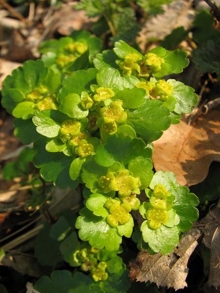 close up flowers of Chrysosplenium alternifolium (Hohnbachtal, La Calamine,Belgium)