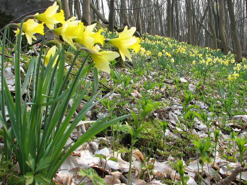 habitat of Narcissus pseudonarcissus and Mercurialis perennis, (NL: overblijvend bingelkruid) (Hohnbachtal, La Calamine,Belgium)