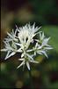 flowers of Allium ursinum , (NL: daslook) (Hohnbachtal, La Calamine,Belgium)