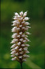 close up Polygonum bistorta (Hohnbachtal, La Calamine,Belgium)