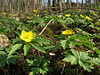 Anemone ranunculoides (Hohnbachtal, La Calamine,Belgium)