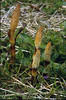 Equisetum telmateia (Hohnbachtal, La Calamine,Belgium)