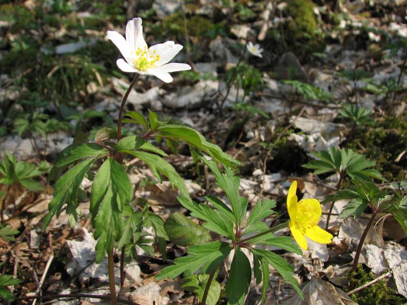 Anemone nemorosa and A. ranunculoides (Hohnbachtal, La Calamine,Belgium)