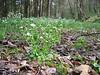 wet habitat of Cardamine amara, (NL: bittere veldkers) (Hohnbachtal, La Calamine, Belgium)
