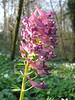 Corydalis solida (Hohnbachtal, La Calamine,Belgium)