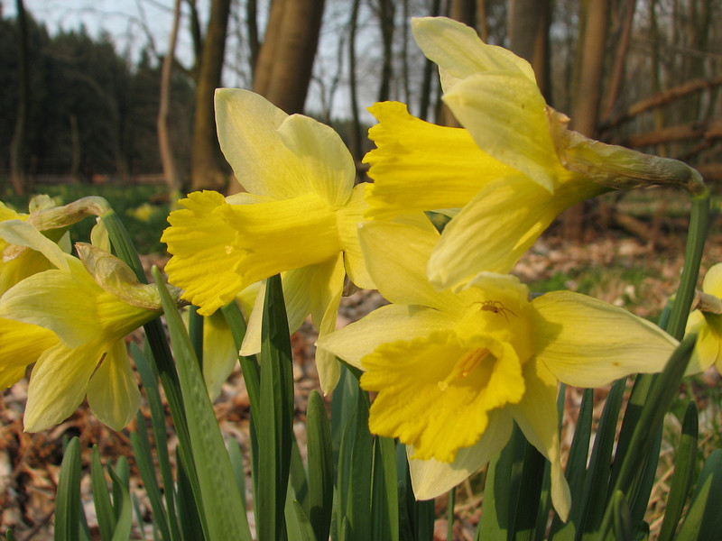 Narcissus pseudonarcissus (Hohnbachtal, La Calamine, Belgium)