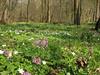 habitat of Corydalis solida (Hohnbachtal, La Calamine,Belgium)