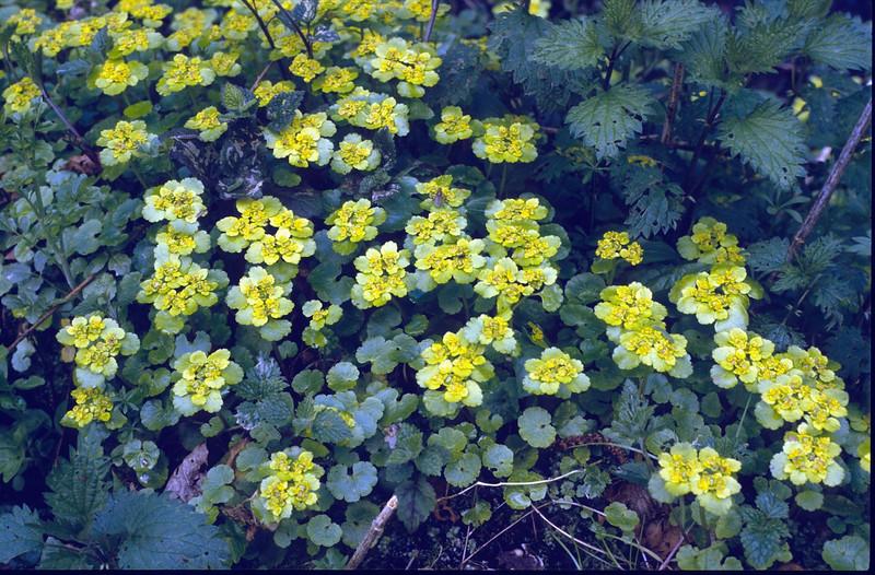 habitat of Chrysosplenium alternifolium, (NL: verspreidbladerig goudveil) (Hohnbachtal, La Calamine,Belgium)