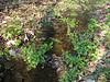 wet habitat of Cardamine amara, (NL: bittere veldkers) (Hohnbachtal, La Calamine,Belgium)