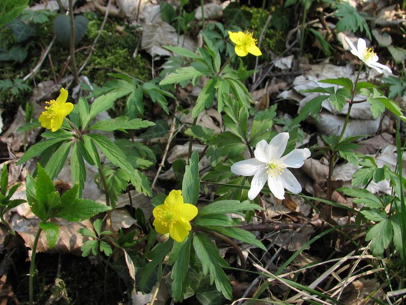 Anemone ranunculoides and A. nemorosa (Hohnbachtal, La Calamine,Belgium)