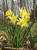 Narcissus pseudonarcissus (Hohnbachtal, La Calamine,Belgium)