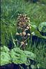 Petasites hybridus (Hohnbachtal, La Calamine,Belgium)
