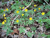 Anemone ranunculoides (Hohnbachtal, La Calamine, Belgium)
