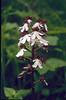 Orchis purpurea (Hohnbachtal, La Calamine,Belgium)