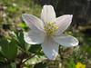 close up of Anemone nemorosa (Hohnbachtal, La Calamine,Belgium)
