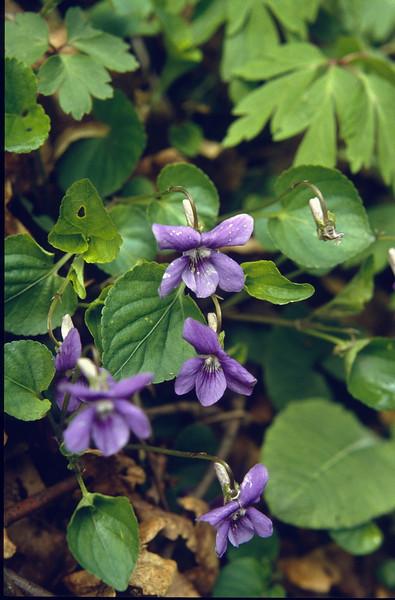 Viola riviniana, (NL: gewoon viooltje) (Hohnbachtal, La Calamine,Belgium)