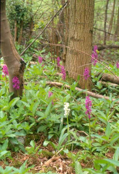 habitat of Orchis mascula var. Alba (Hohnbachtal, La Calamine,Belgium)