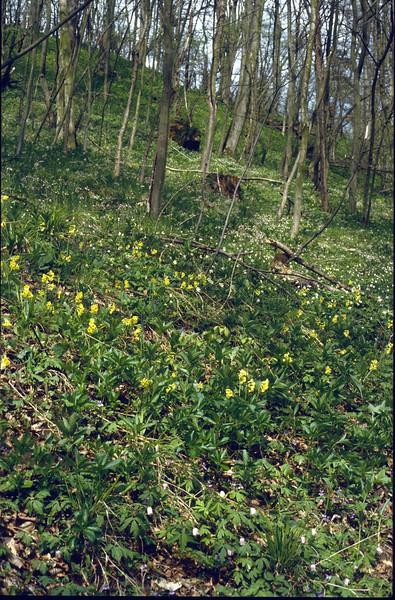 habitat of Primula elatior (Hohnbachtal, La Calamine,Belgium)