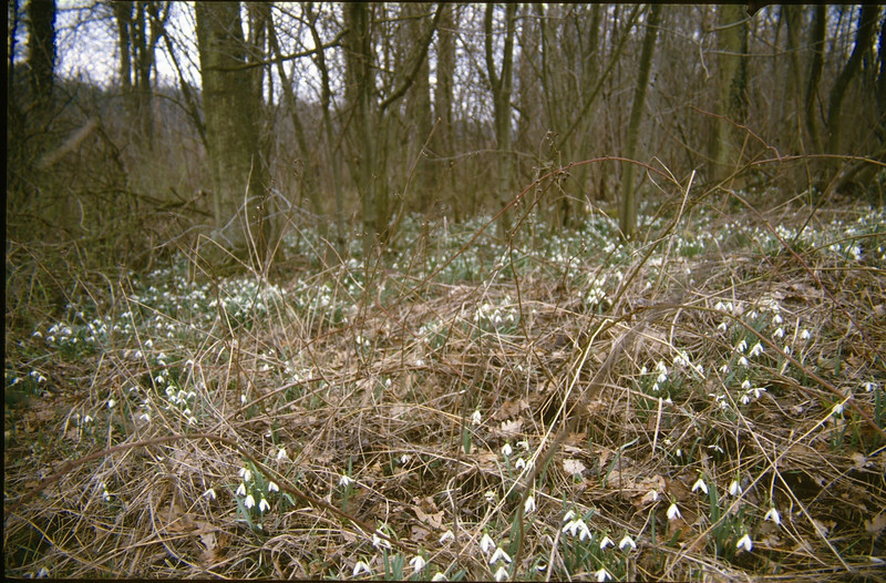 forest with Galanthus nivalis