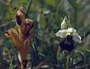 Ophrys apifera (NL: bijenorchis)