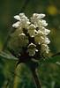 Prunella vulgaris var. Alba