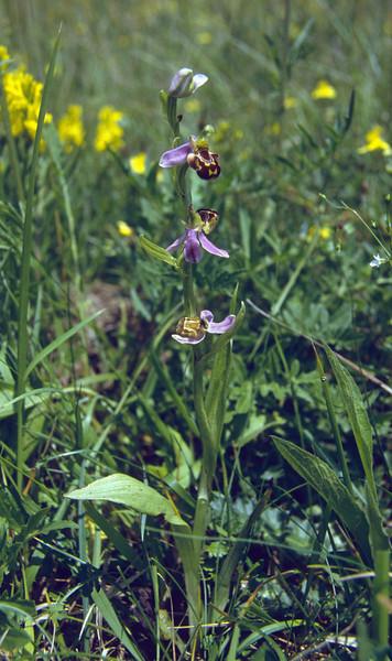 Ophrys apifera (NL: bijenorchis)Tiene aux Pauquis, Dourbes