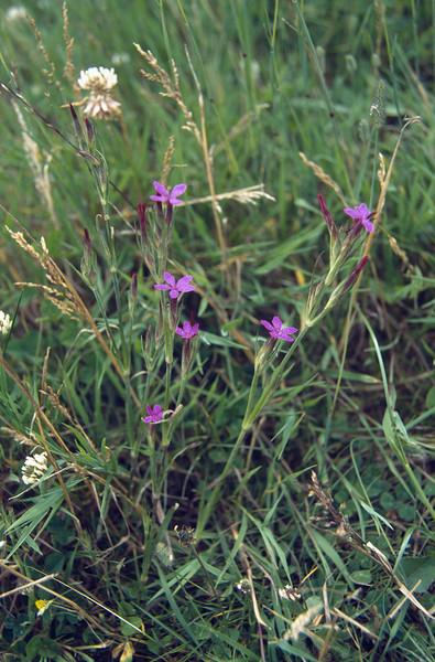 Dianthus gratianopolitanus (NL: rotsanjer)