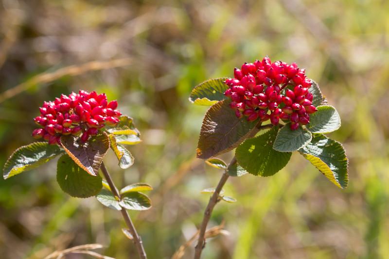 Viburnum lanata
