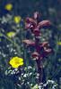 Orobanche caryophyllacea on Asperula cynanchica (NL: walstrobremraap op kalkbedstro)