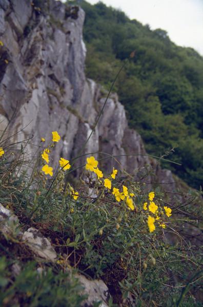 Helianthemum nummularium, near Dourbes.