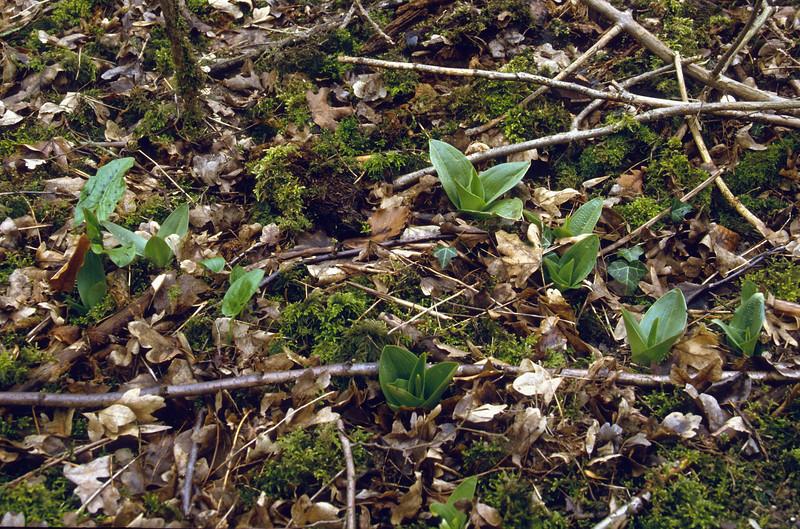 Orchis purpurea, habitat