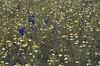Matricaria chamomilla and Delphinium consolida (NL: echte kamille en wilde ridderspoor)