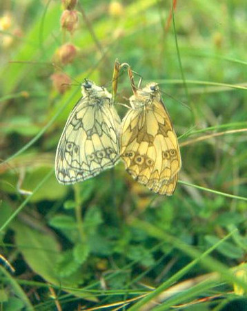 Melanargia galathea (male and female) (NL: dambordjes)