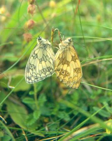 Melanargia galathea (male and female) (NL: dambordjes)
