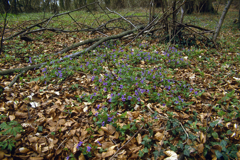 Viola reichenbachiana (NL: blauwsporig viooltje)