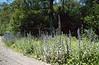 Echium vulgare, habitat