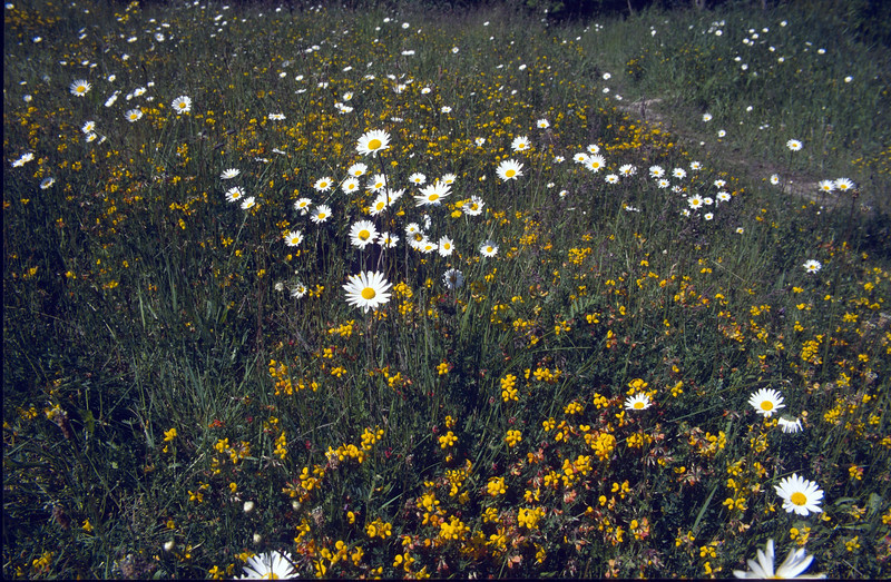 Lotus corniculatus and Leucanthemum vulgare (NL: rolklaver en margriet)