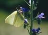 Echium vulgare with Gonepteryx rhamni (NL: citroenvlinder)