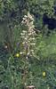 Himantoglossum hircinum (NL:bokkenorchis)