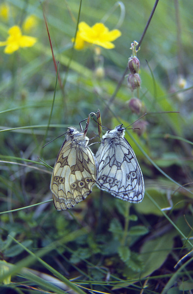 Melanargia galathea (female and male) (NL: dambordjes)