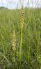 Orchis anthropophorum