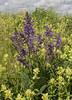 Salvia  pratensis and Rhinanthus alectorolophus