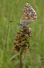 Polyommatus icarus on seedpot of Sanguisorba minor