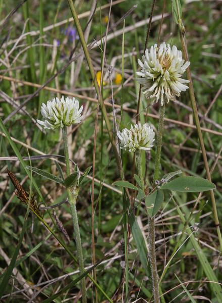 Trifolium montanum