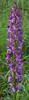 Orchis militaris X O. anthropophorum