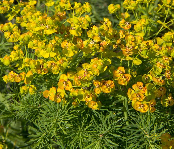 Euphorbia spec. ?