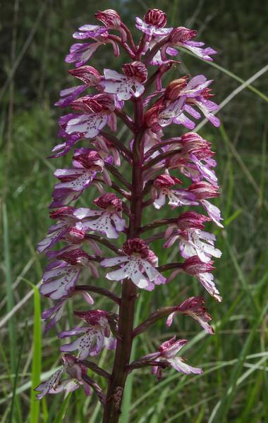 Orchis purpurea x Orchis militaris