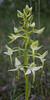 Platanthera chlorantha