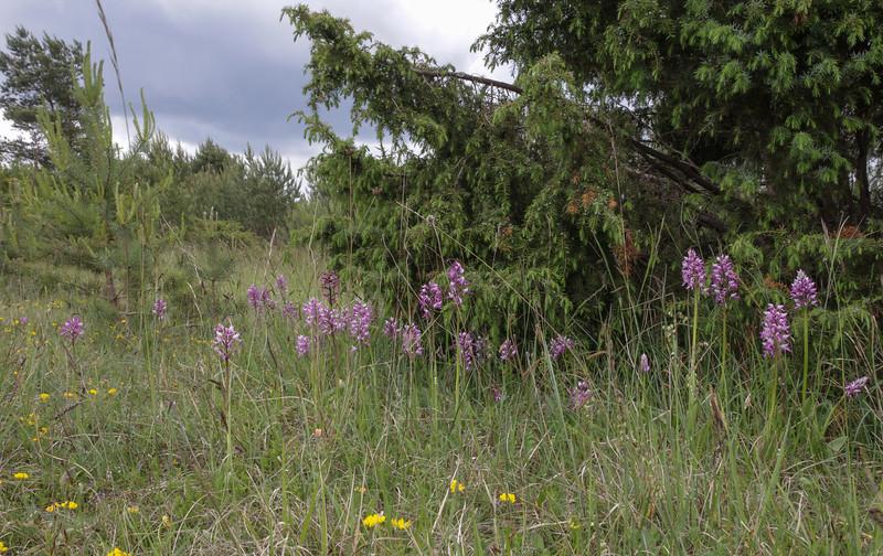 Orchis militaris and Juniperus communis