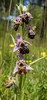 Ophrys holoserica
